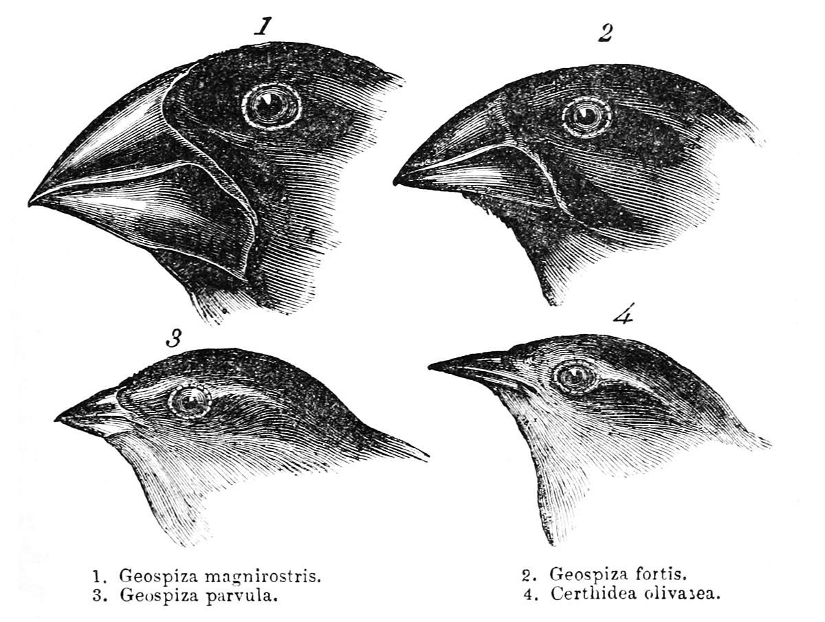 Darwin's Finches: Showing evolutionary differences resulting from geographical isolation